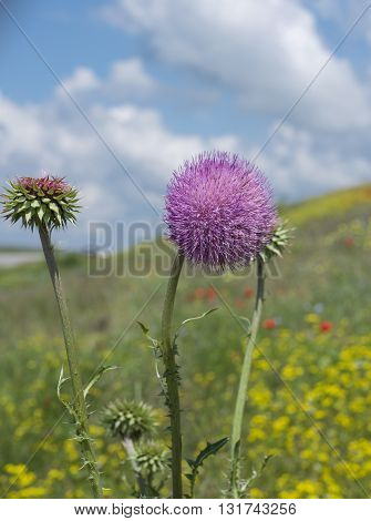 Spiny flower of burdock on a hillside and on the background of the sky
