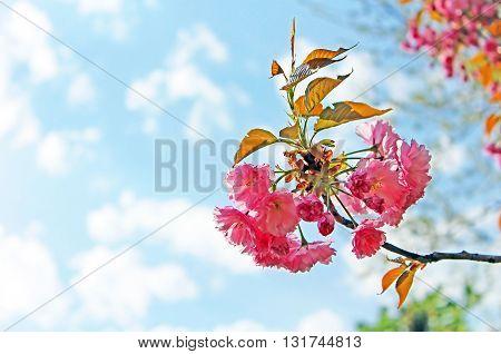 Sakura Flower or Cherry Blossom over blue sky