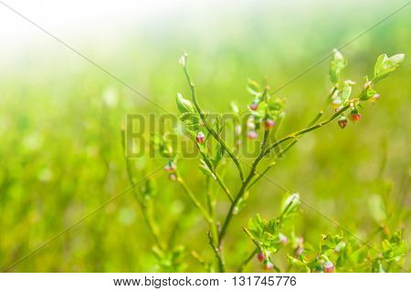 Flowering shrub as natural background, sunny day