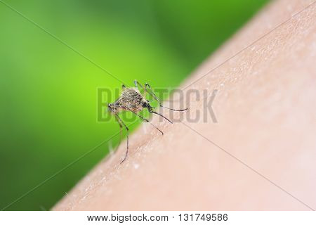 insect mosquito drinking blood from human hand
