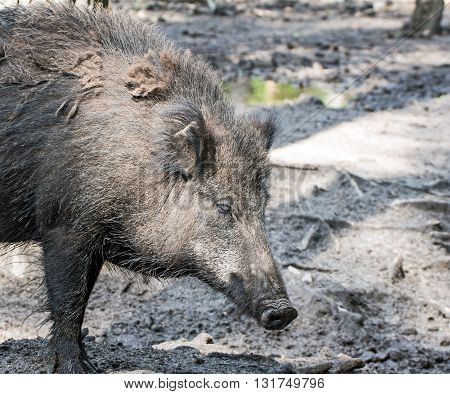 Portrait of a big boar in a wildpark