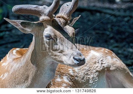 Portrait of a stag in a wildpark