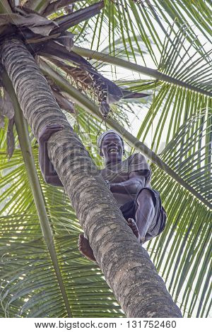 ZANZIBAR TANZANIA - JUNE 18: a man climbs a coconut palm tree to gather the ripe coconuts on June 18 2013 in Zanzibar