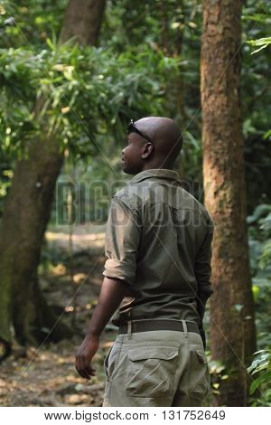 GOMBE STREAM NATIONAL PARK TANZANIA - JUNE 14: a ranger in the forest of Gombe is tracking chimpanzees on June 14 2013 in Gombe Stream National Park. Gombe is the smallest national park in Tanzania