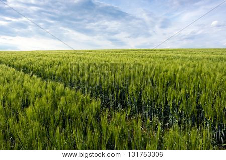 Spring landscape with a green cornfield and the sky