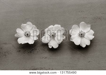 Three white flowers of wild rose on a gray background. black and white photo. Flat lay top view