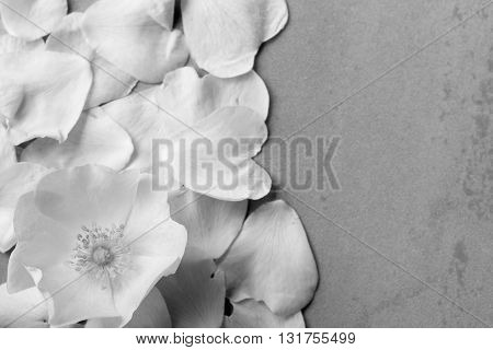 white flower wild rose on a background of fallen petals with space for text. black and white photo. Flat lay top view