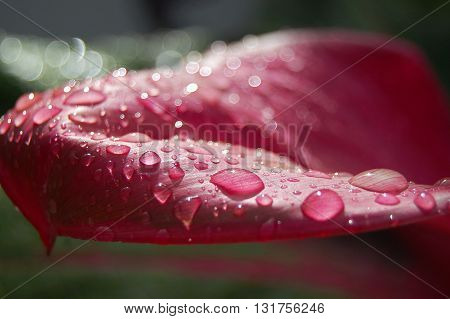 Water drops on pink leaf with light effects