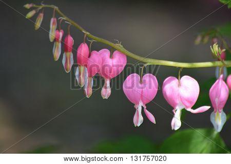 Bleeding heart flowers blooming in the garden