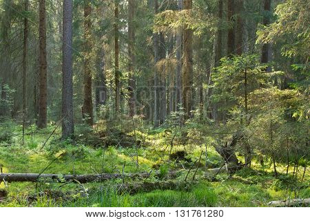 Coniferous stand in sunset with pine and spruce and moss covered forest floor, Bialowieza Forest, Poland, Europe