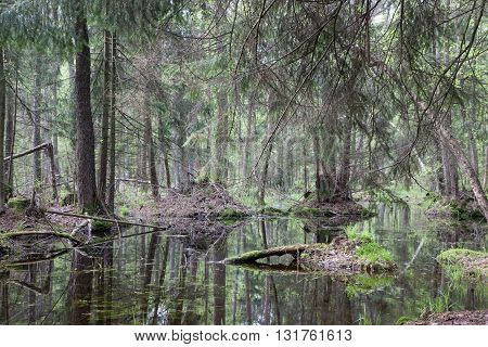 Natural swampy forest at springtime with old alder tree in foreground, Bialowieza Forest, Poland, Europe