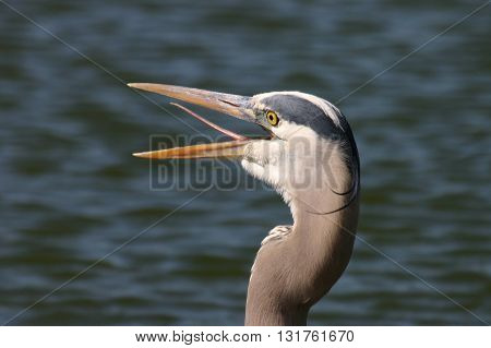 Heron face laughing and sticking out tongue
