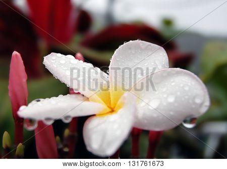 Rain drops on white frangipani flower petals