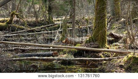 Broken trees lying in spring in deciduous stand of Bialowieza Forest Poland Europe