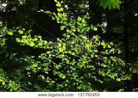 a picture of an exterior Pacific Northwest Cascara tree in spring