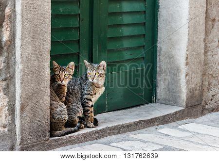Cat twins in the mediterranian street of Sibenik city. Croatia.