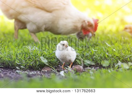 a small yellow chick walks across the grass on a Sunny day