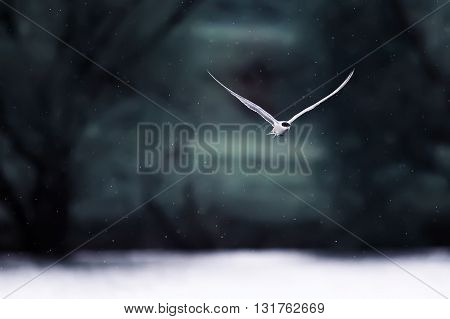 the white black-headed gull flies by breaking wind and snow