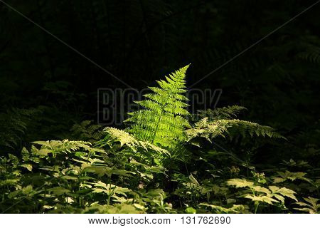 a picture of an exterior Pacific Northwest forest Deer fern