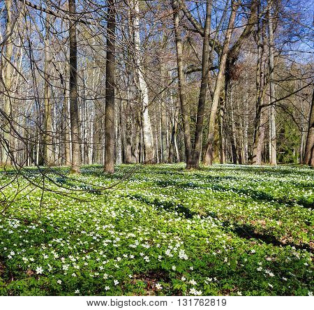 Spring white flowers in the forest on the sunny day