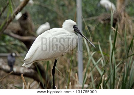 the royal spoonbill is in an avairy full of birds