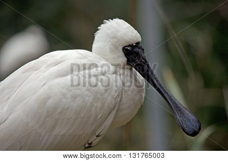 this is a close up of a royal spoonbill