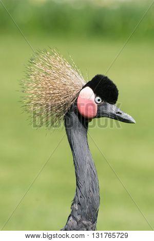 Black Crowned Crane (balearica Pavonina)