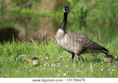Grey Goose Biddy