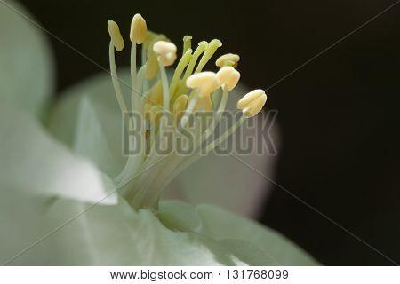 Spring flowering wild cherry in the garden in springtime