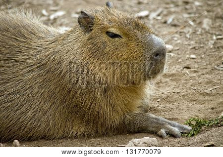 this is a close up of a capybara