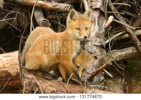 Red Fox Kits (vulpes) playing near the den