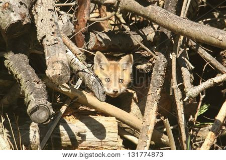 Red Fox Kit (vulpes) peaking out of the den