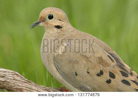 Mourning Dove (Zenaida macroura) close-up with a green background