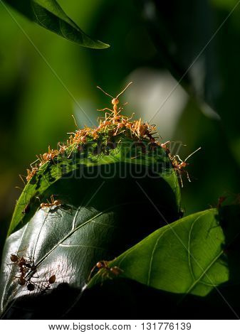 Red Ant And  Green Leaf.