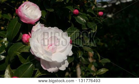 plant with two beautiful flowers Japanese Camellia