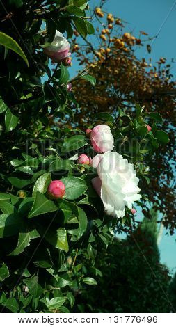 plant with beautiful flowers Japanese Camellia - Japan