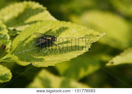 fly green color looks metallic posada on a bicolor leaf