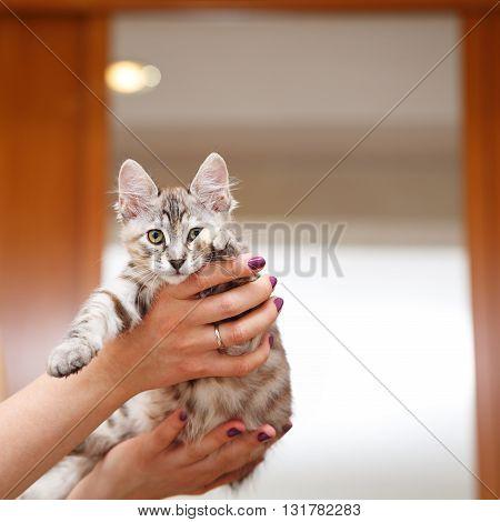 Kuril Bobtail gray kitten on hostess hands. Thoroughbred cat. Cute and funny kitten. Pet.