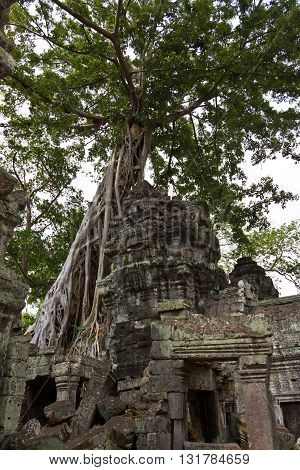 Tree Roots Covering Remains Of Ta Phrom