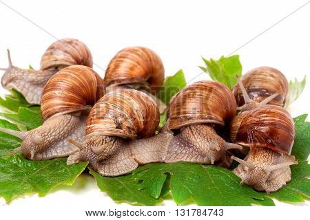 some snails crawling on the grape leaves white background.