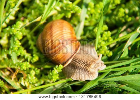 One snail is crawling in the green grass.