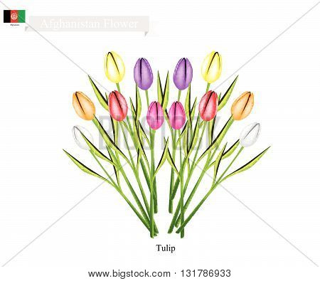 Afghanistan Flower Illustration of Tulip Flowers. One of The Most Popular Flower in Afghanistan.