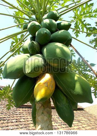 Old papaya fruits hanging at the papaya plants on the front yard, carica papaya