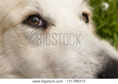 Close up of a white dog face with focus on his eye