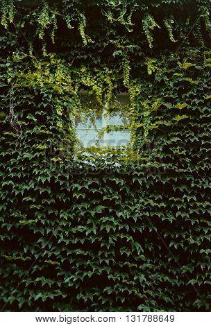 Beautiful old overgrown green plants the window
