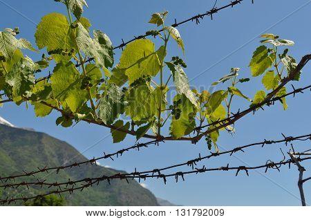 Vitis (grapevine) Plant