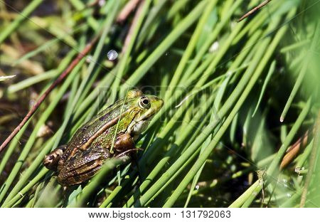 cute small green Brown frog in the grass