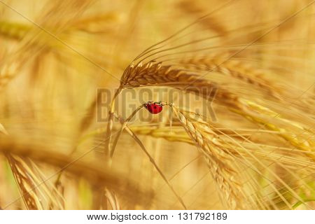 Ladybird on ear of barley. Ladybird on ear of golden wheat.