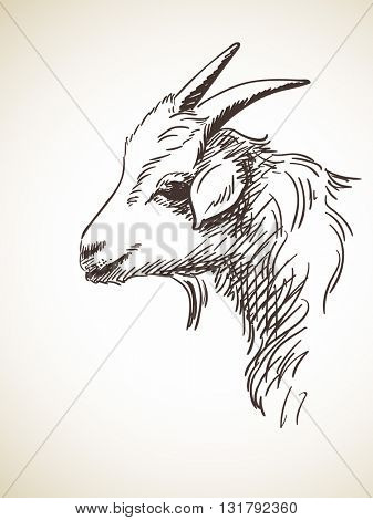 Sketch of goat's head, Hand drawn illustration Isolated
