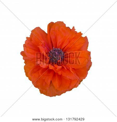single terry red poppy isolated on white background